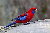 Crimson Rosella, Springbrook NP, Queensland, Australia
