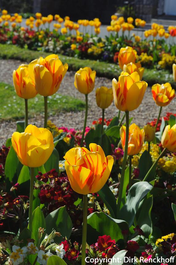 Tulpen im Saumarez Park, Insel Guernsey, Kanalinseln