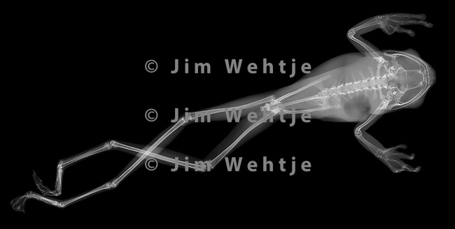 X-ray image of a tree frog jumping (white on black) by Jim Wehtje, specialist in x-ray art and design images.
