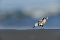 Sanderling (Calidris alba), adult preening, Port Aransas, Mustang Island, Texas Coast, USA