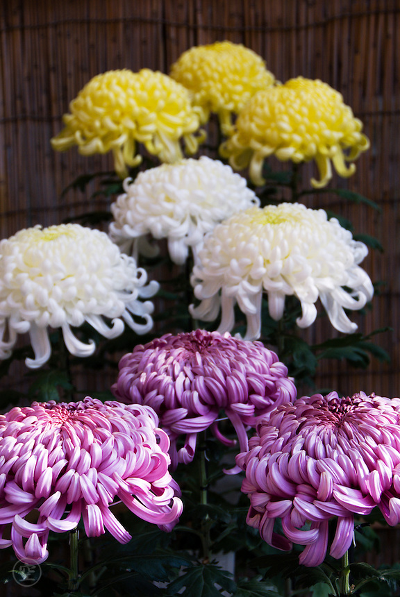 Elaborate and perfect ogiku chrysanthemums on display.