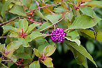 The beautyberry is a deciduous shrub with clusters of purple berries.