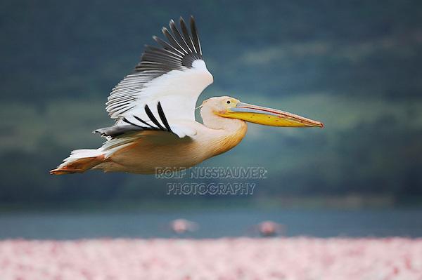 Eastern White Pelican (Pelecanus onocrotalus) adult in flight, Lake Nakuru, Kenya, Africa