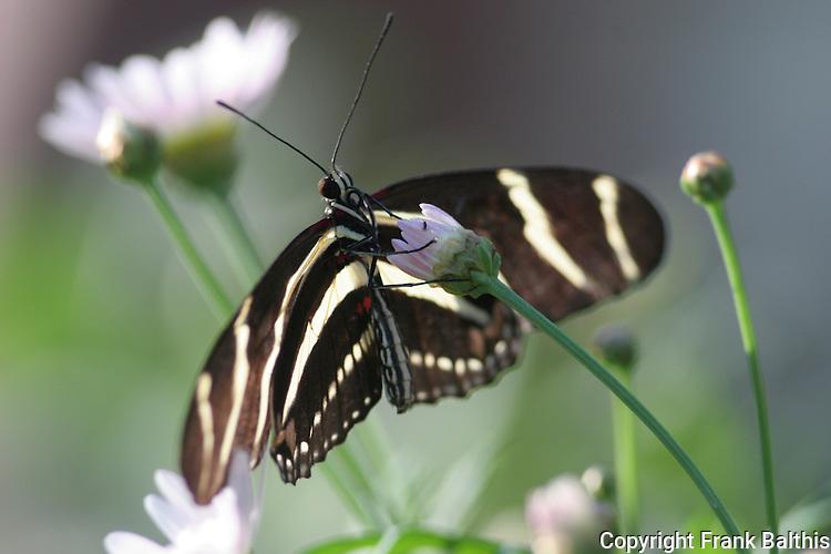 Zebra Heliconian butterfly