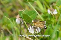 03673-001.03 Swarthy Skipper (Nastra lherminier) on White Clover (Trifolium repens) Prairie Ridge SNA Jasper Co. IL