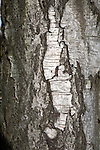 Bark of silver birch tree, Betula pendula, close up