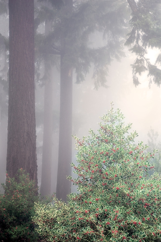 Holly bush with Douglas Fir trees in fog. Hoyt Arboretum. Portland, OR