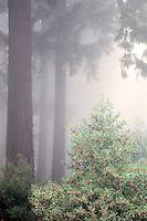 Holly bush with Douglas Fir trees in fog. Hoyt Arboretum. Portland, OR