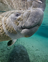 RQ31148-Dm. Florida Manatee (Trichechus manatus latirostris), close-up portrait of a juvenile manatee. These gentle, slow-swimming, herbivorous marine mammals are related to elephants. Florida, USA.<br /> Photo Copyright &copy; Brandon Cole. All rights reserved worldwide.  www.brandoncole.com