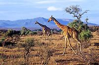 Reticulated Giraffe (Giraffa camelopardalis).  Northern Kenya.