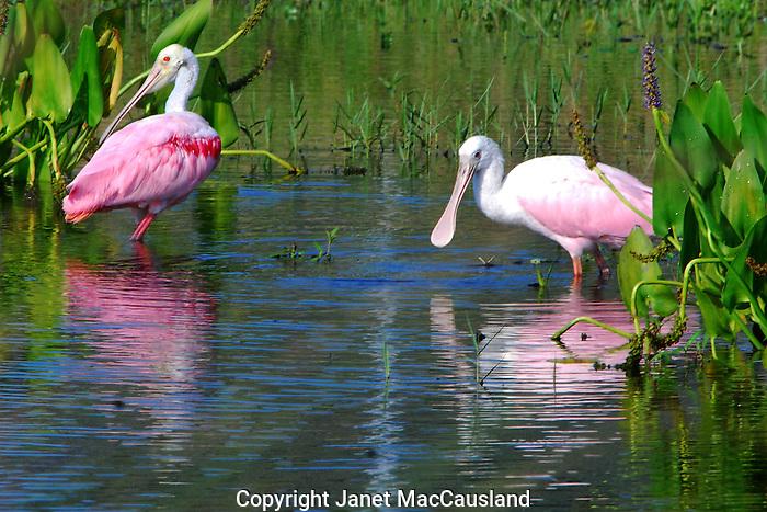 Roseate Spoonbill; feeding; pond;