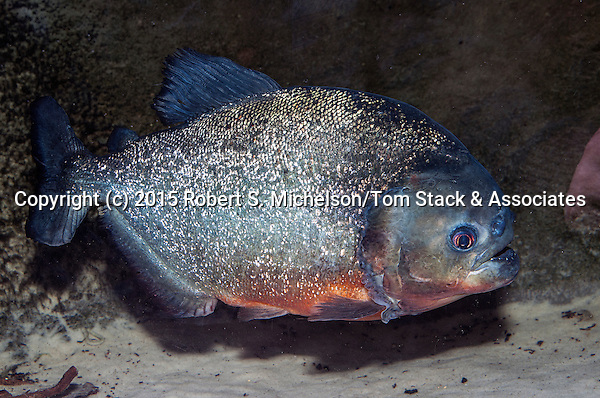 Red-belly Piranha full body view facing right