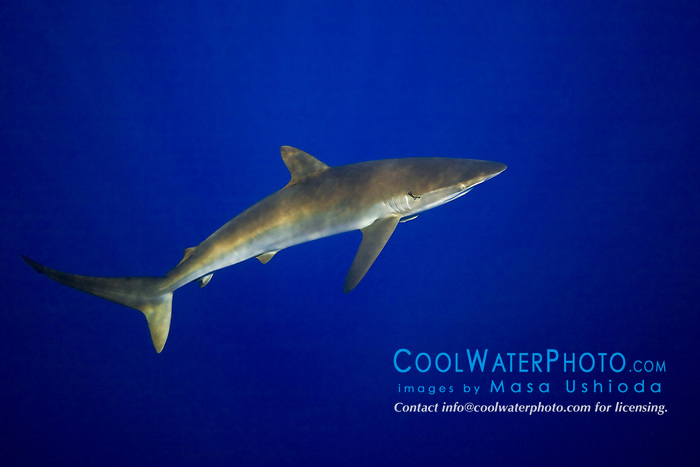Silky Shark, Carcharhinus falciformis, off Kohala Coast, Big Island, Hawaii, Pacific Ocean
