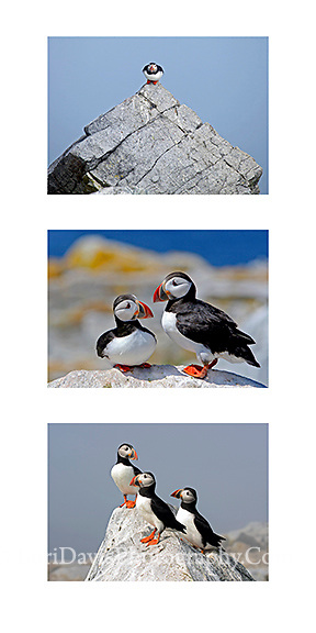 Puffin Collage h