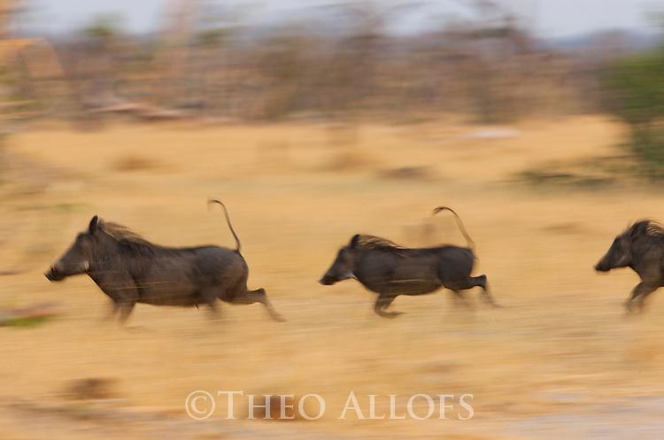 Botswana, Okavango Delta, Moremi; warthogs running in grassland (Phacochoerus aethiopicus.)