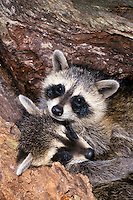 Two raccoon pups, Pyron locotor, cuddle and sleep inside a hollow log in the garden after high energy play
