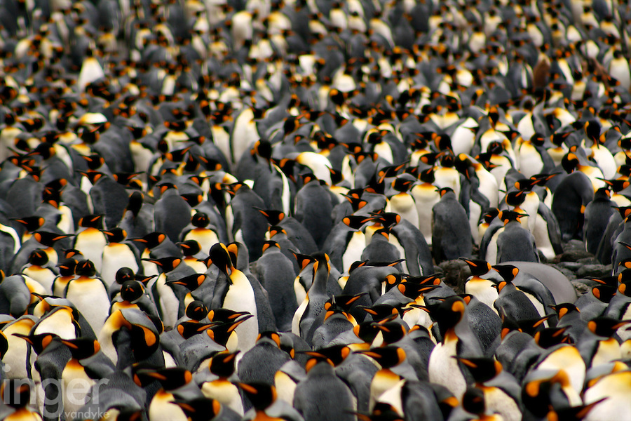 King Penguins at Sandy Bay, Macquarie Island, Antarctica