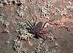 Whip Spider Scorpion, Amblypygi,  Belize, camouflaged.Belize....