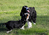 0730-0830  Young English Springer Spaniels Playing with Each Other, Canis lupus familiaris © David Kuhn/Dwight Kuhn Photography.
