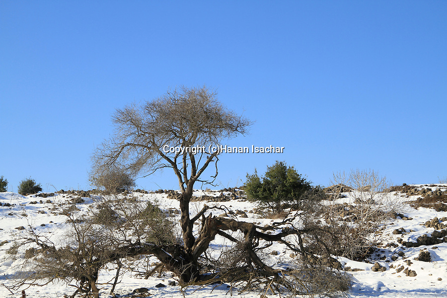 Golan Heights, a broken Cherry tree after a snow storm