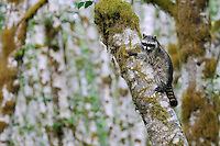Raccoon (Procyon lotor) on side of red alder tree in an alder tree grove (often referred to as an alder bottom) along the Queets River, Olympic National Park (rain forest), WA.  Summer.