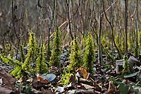 Zypressen-Schlafmoos, Zypressenschlafmoos, Zypressenförmiges Schlafmoos, Hypnum cupressiforme, cypress-leaved plait-moss, cypress-leaved plaitmoss, hypnum moss, L'Hypne cyprès