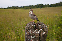 Savannah Sparrow (Passerculus sandwichensis mediogriseus), Eastern subspecies perched on a fence post along Russell Road near Barton, Maryland.