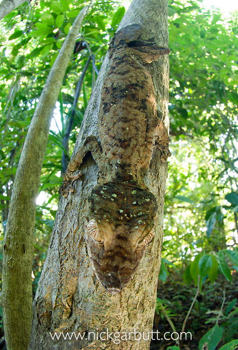 Leaf-tailed Gecko (Uroplatus fimbriatus) resting on a tree trunk during the day. Nosy Mangabe, north east Madagascar.