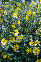 Helianthus 'Lemon Queen' perennial sunflower