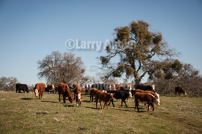 Late winter calf marking, branding and doctoring at the hilltop corral above the Busi Ranch in the Sierra Nevada Foothills of Amador County, Calif...Cattle and oak trees