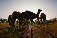 Hobbled camels silhouetted just after sunrise, Camel market, Cairo, Egypt