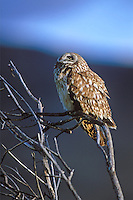 Short-eared Owl in Malheur NWR, Oregon