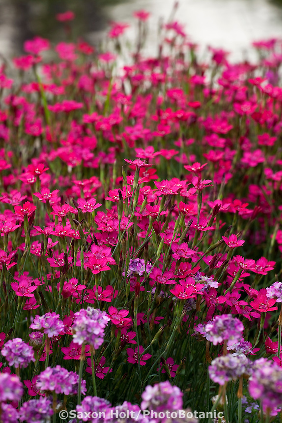Red flowering perennial Dianthus in Illinois garden