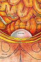 Medical chart of the human body created over 100 years ago showing the inner workings as interpreted by the doctors then. A piece of art in itself depicting an abstract perspective of the miraculous body. Depicted here the bladder and parts of the stomach.