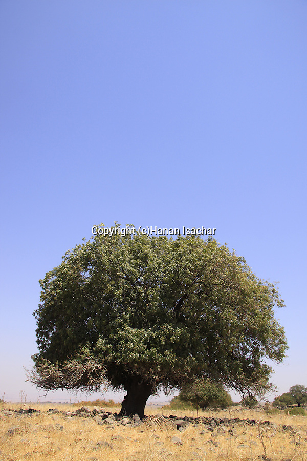 Atlantic Pistachio (Pistacia Atlantica) tree at the Golan Heights