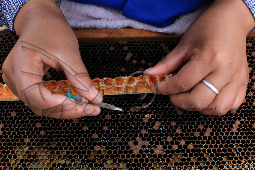 Picking eggs for royal jelly