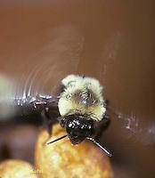 BU26-003z  Bumblebee - worker fanning wings to cool colony - Bombus impatiens