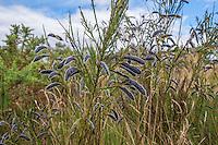 Broom (cytisus scoparius) pods, Stiperstones, Shropshire.