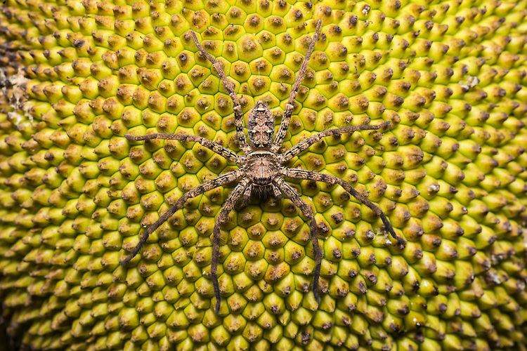 Spider species on bread fruit at night in the Xishuangbanna Tropical Botanic Gardens