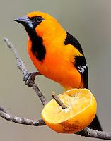 Altamira oriole adult at orange