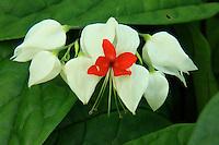 A close-up of a Bleeding Heart vine  flower.