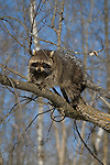 Raccoon (Procyon lotor) sitting on a tree limb