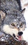 Timber or Grey Wolf, Canis Lupus, Minnesota  USA  .wolf guarding recent kill, snarling, aggressive behaviour, growling, baring teeth, staring, eyes.USA....