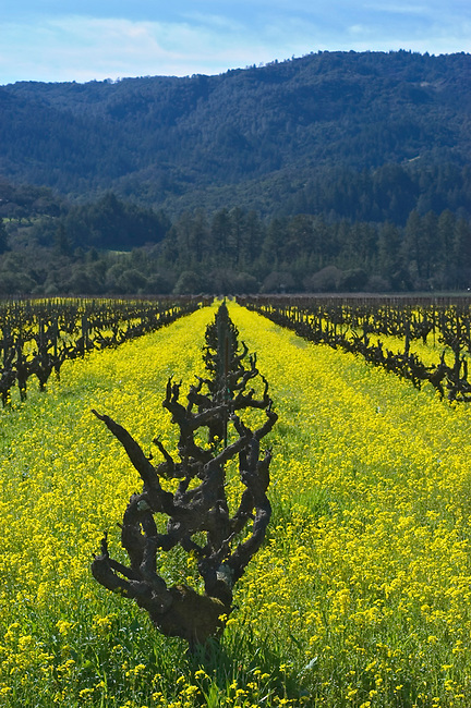 Spring mustard blooms in 50 year old Petit Sirah vineyard in St. Helena