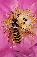Sächsische Wespe, Dolichovespula saxonica, Vespula saxonica, Blütenbesuch, Nektarsuche, Faltenwespen, Vespidae, Saxon wasp