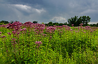 Joe Pye Weed grows in profusion in the prairie at Nachusa Grasslands in Ogle and Lee Counties, Illinois