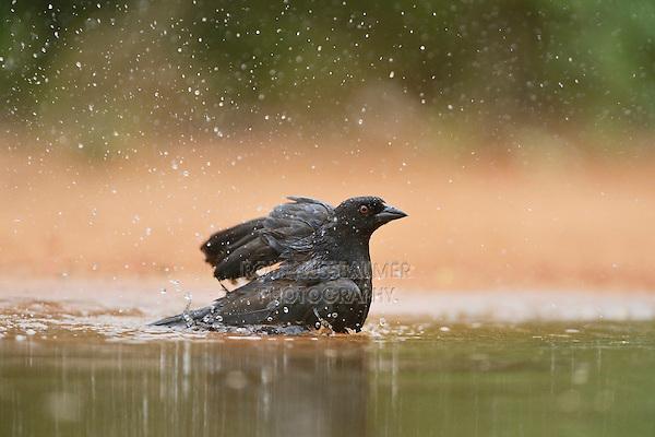 Bronzed Cowbird (Molothrus aeneus), male bathing, Rio Grande Valley, South Texas, Texas, USA
