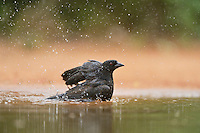 Bronzed Cowbird (Molothrus aeneus), male bathing, Rio Grande Valley, South Texas, Texas, USA