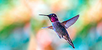 the Ruby-throated Hummingbird is eastern North America's sole breeding hummingbird