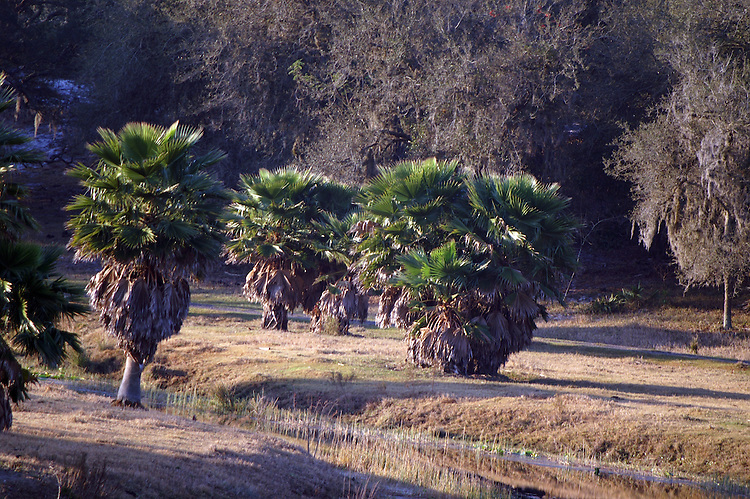 Untrimmed palm trees bask in the morning sun.